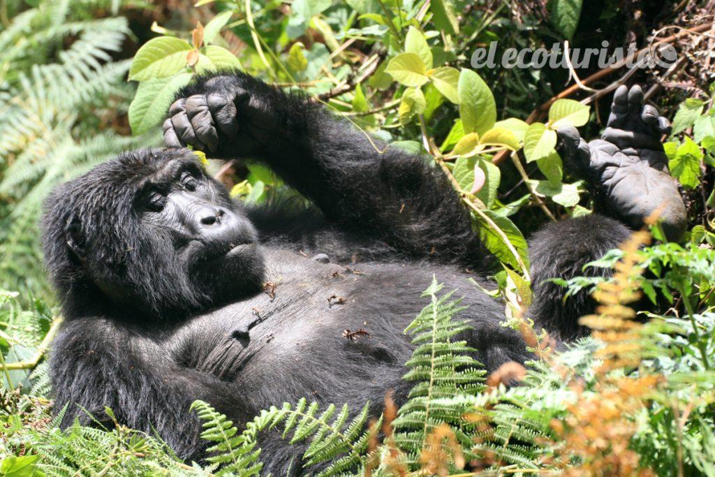 "alt=""gorilas uganda"""