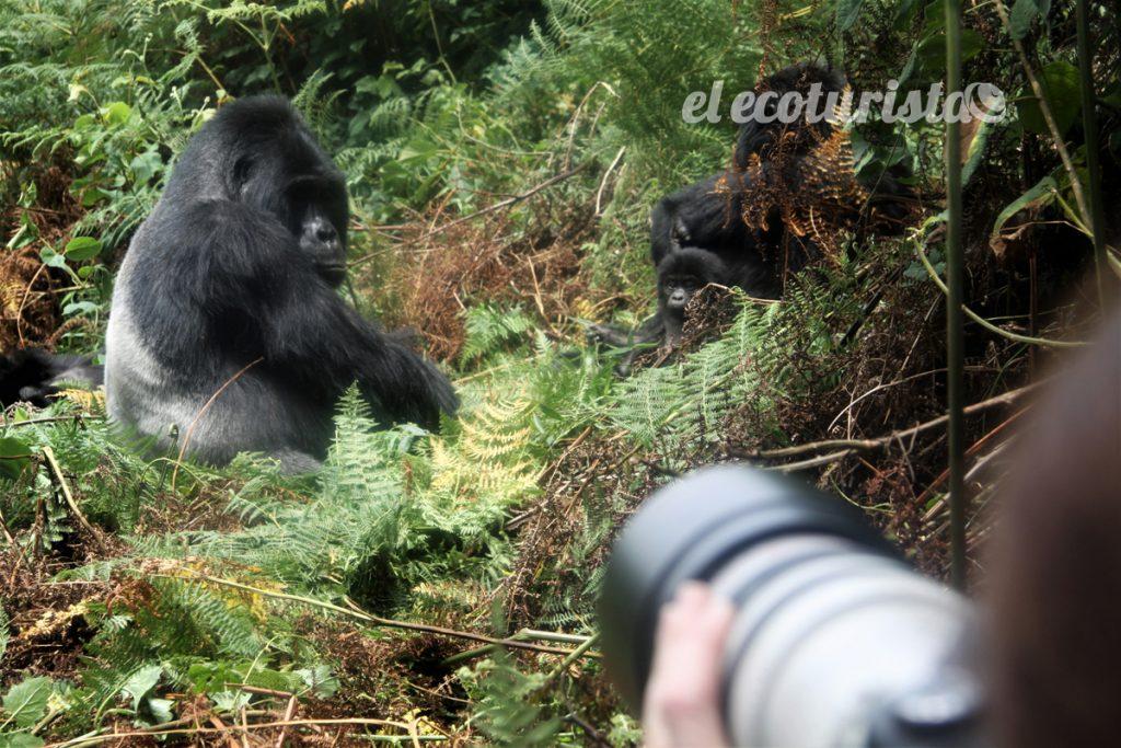 "alt=""gorila montaña uganda"""
