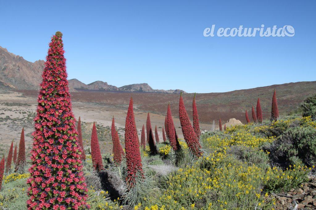 """alt=Tajinastes rojos en flor en las Cañadas del Teide"""""""
