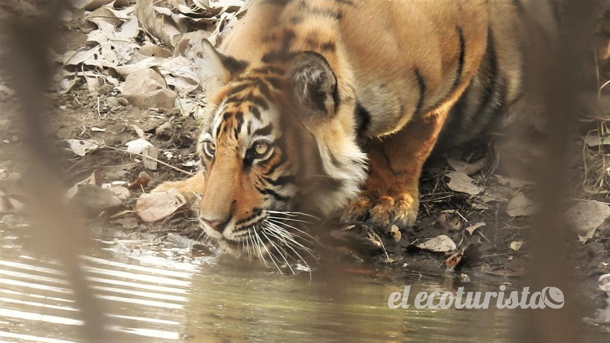 """alt=""""Tigre de Bengala"""""""