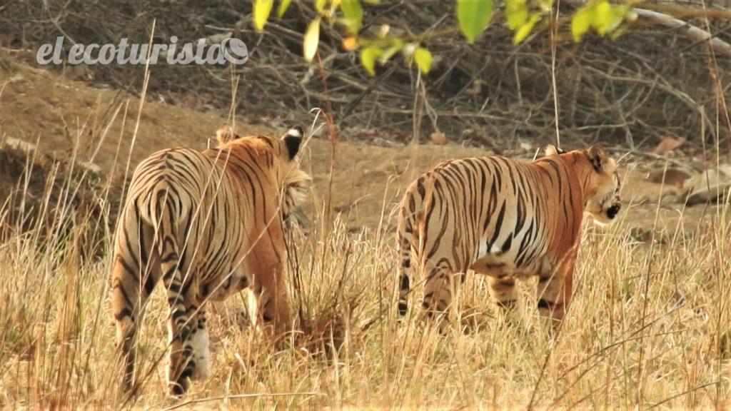 """alt=""""tigres en Tadoba"""""""