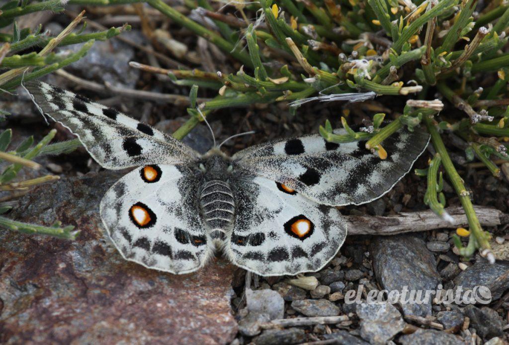 "alt=""Mariposa Apolo de Sierra Nevada"""