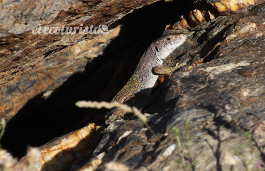 """alt=""""lagarto ocelado de Sierra Nevada"""""""
