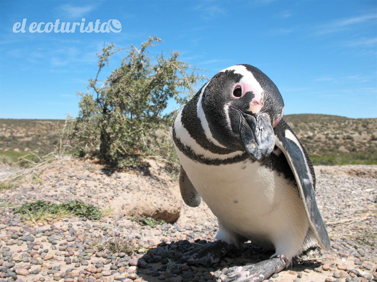 """alt=""""pingüino de magallanes"""""""