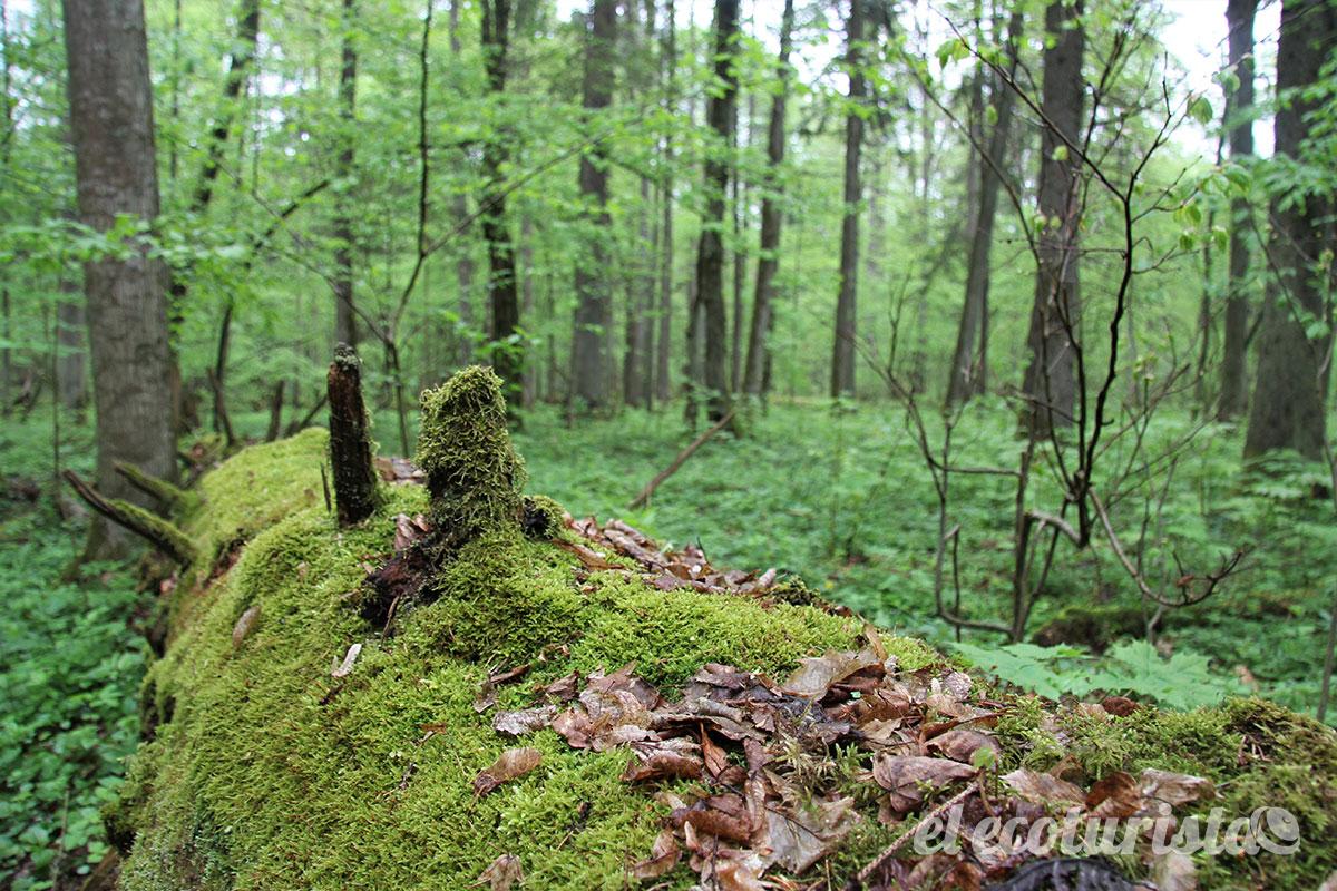 Bialowieza Con Los Bisontes Del Gran Bosque Virgen Europeo El Ecoturista