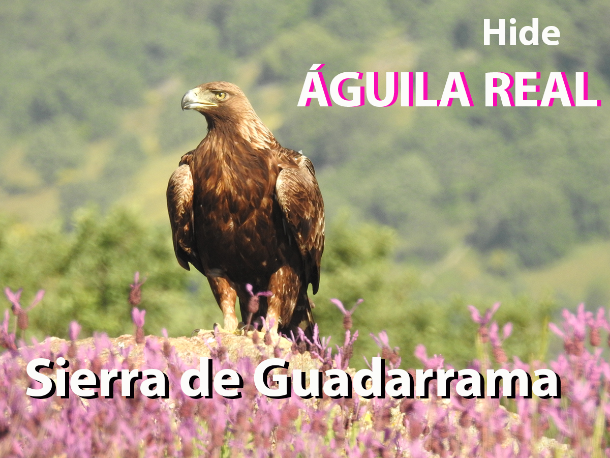 "alt=""aguila real hide"""