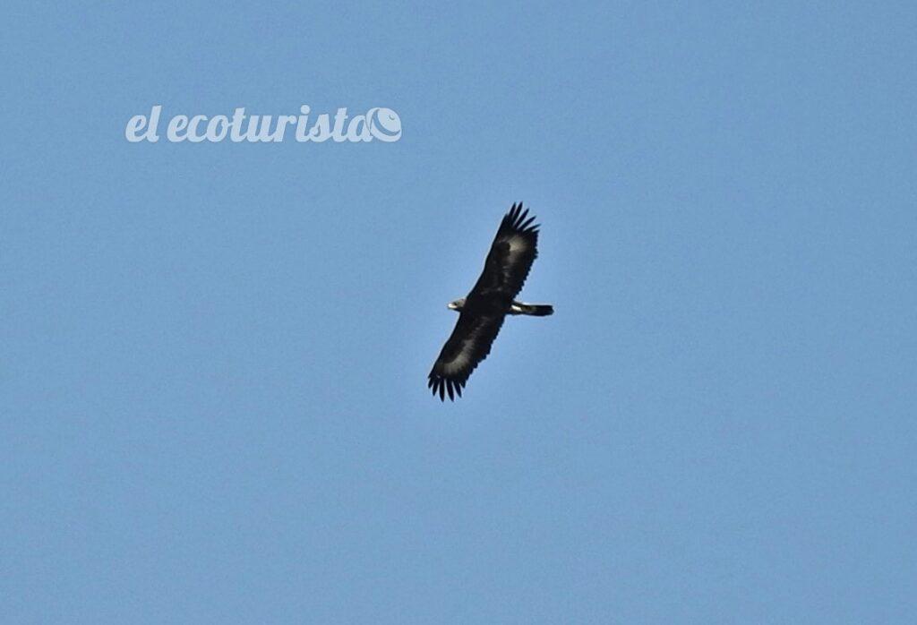 """alt=""""joven de águila real"""""""