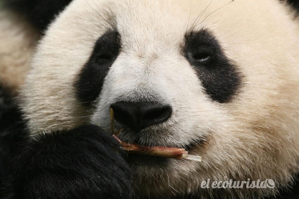"""alt=""""Oso panda"""""""