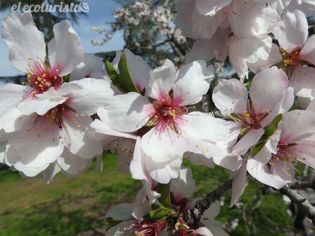 """alt=""""almendros en flor Quinta de los Molinos"""""""
