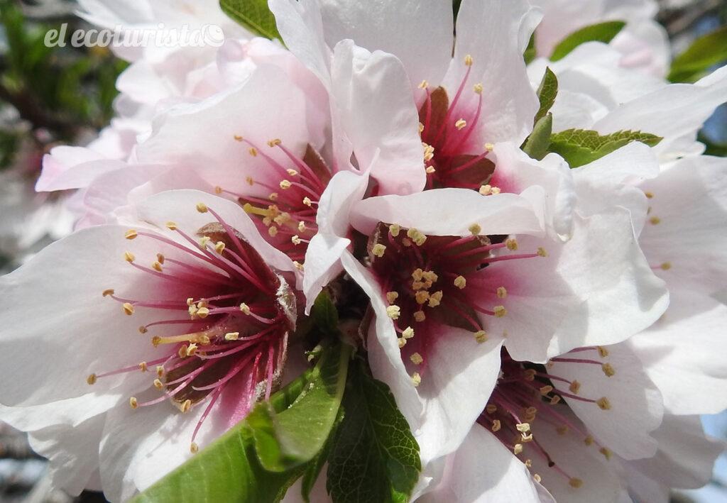 """alt=""""flor de almendro"""""""