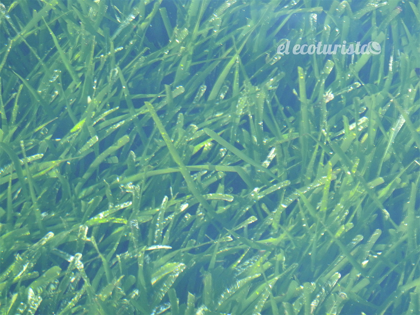 "alt=""Posidonia oceanica"""